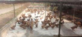 আঞ্চলিক হাঁস প্রজনন খামারে দালাল সিন্ডিকেটের দৌড়াত্ম: বাচ্চা ৫গুণ বেশি দামে বাচ্চা বিক্রির অভিযোগ