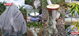 নচ ও বার্ক গ্রাফটিং: বয়স্ক ফলগাছকে ফলবান ও উন্নত জাতে রুপান্তর করার আধুনিক প্রযুক্তি