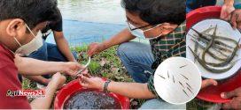 বিএফআরআই'র সাফল্য : পানিতে আবার ঢেউ তুলবে কাকিলা