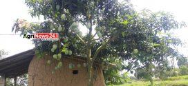 চাঁপাইনবাবগঞ্জে উদ্ভাবিত নতুন জাতের আম ইলামতি
